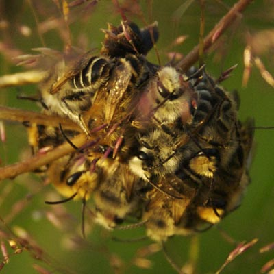 wasp ball